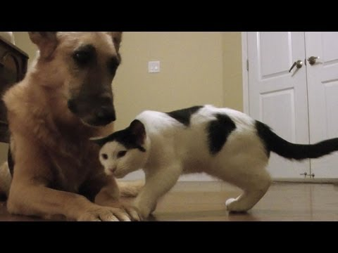 Cat thinks German Shepherd is a giant toy