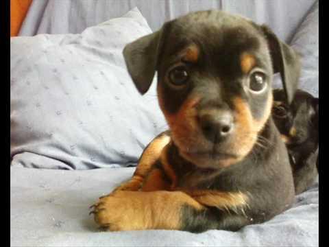 Cuccioli di kikka di pincher nano youtube for Pincher cucciolo