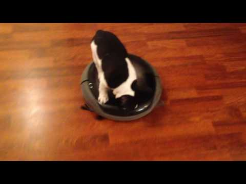 French bulldog puppy vacuum-cleaning