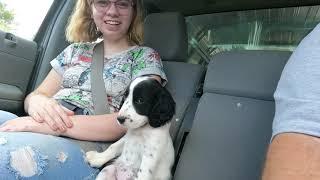 New English Setter Puppy