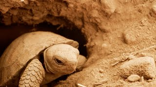 Filming Galapagos Giant Tortoise Hatchlings   Eden: Untamed Planet   BBC Earth