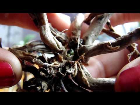 Не выбрасывайте пенечки орхидей!!!
