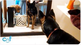 Guard Dog Training   The Scary Reflection