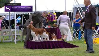 Spaniels (Welsh Springer) | Breed Judging 2021