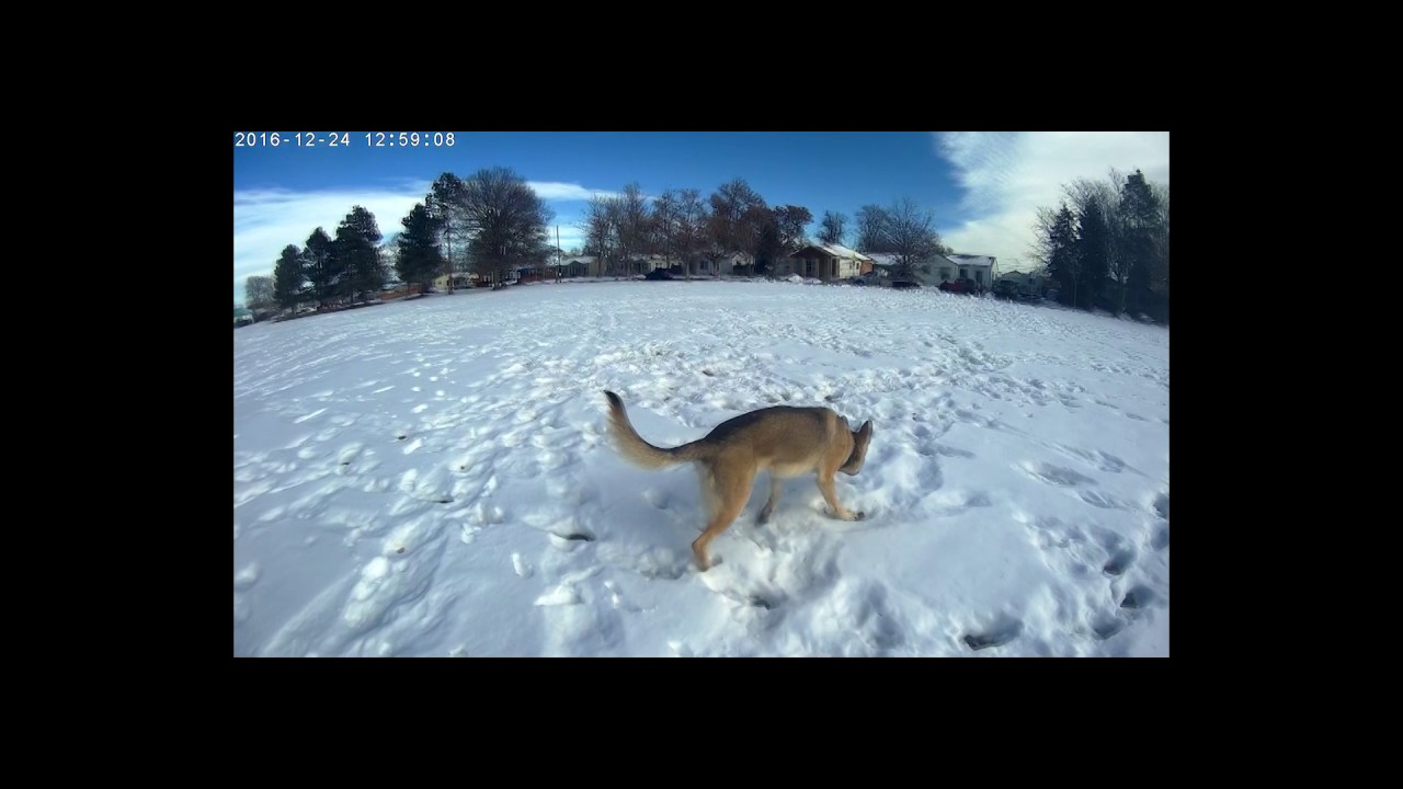 Slow Motion: Galen the Shiloh Shepherd Service Dog is Off ...