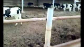 Cow Farm in Kuwait.mp4