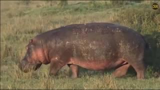 ~ HIPOPOTAM NILOWY ( (Hippopotamus amphibius) ) ~ AFRYKA  SAFARI   18/12/2018