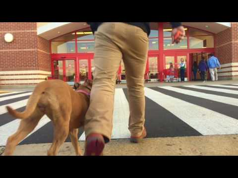 Pit Bull, CoCo! Best Pit Bull Trainers in United States | Off Leash K9 Training |