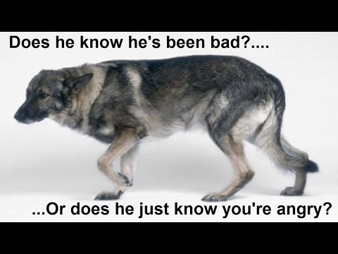 Can dogs feel guilty? - Dog Science explained