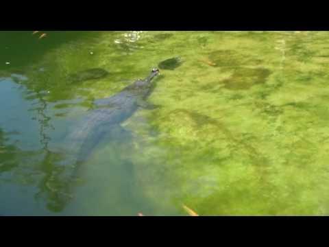 Alligators At The Honolulu Zoo
