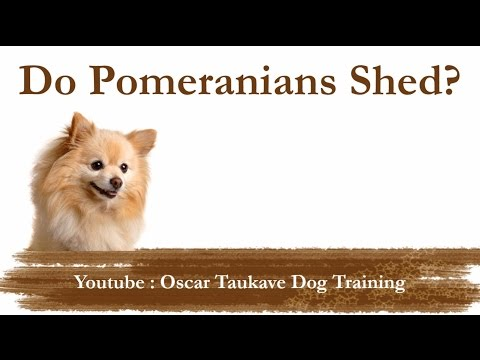 Do Pomeranians Shed?