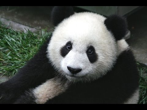 Giant Panda Sounds and Pictures