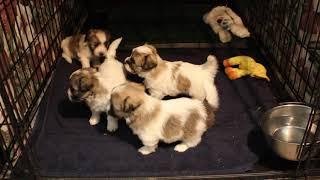 Coton Puppies For Sale - Eliza 5/5/20