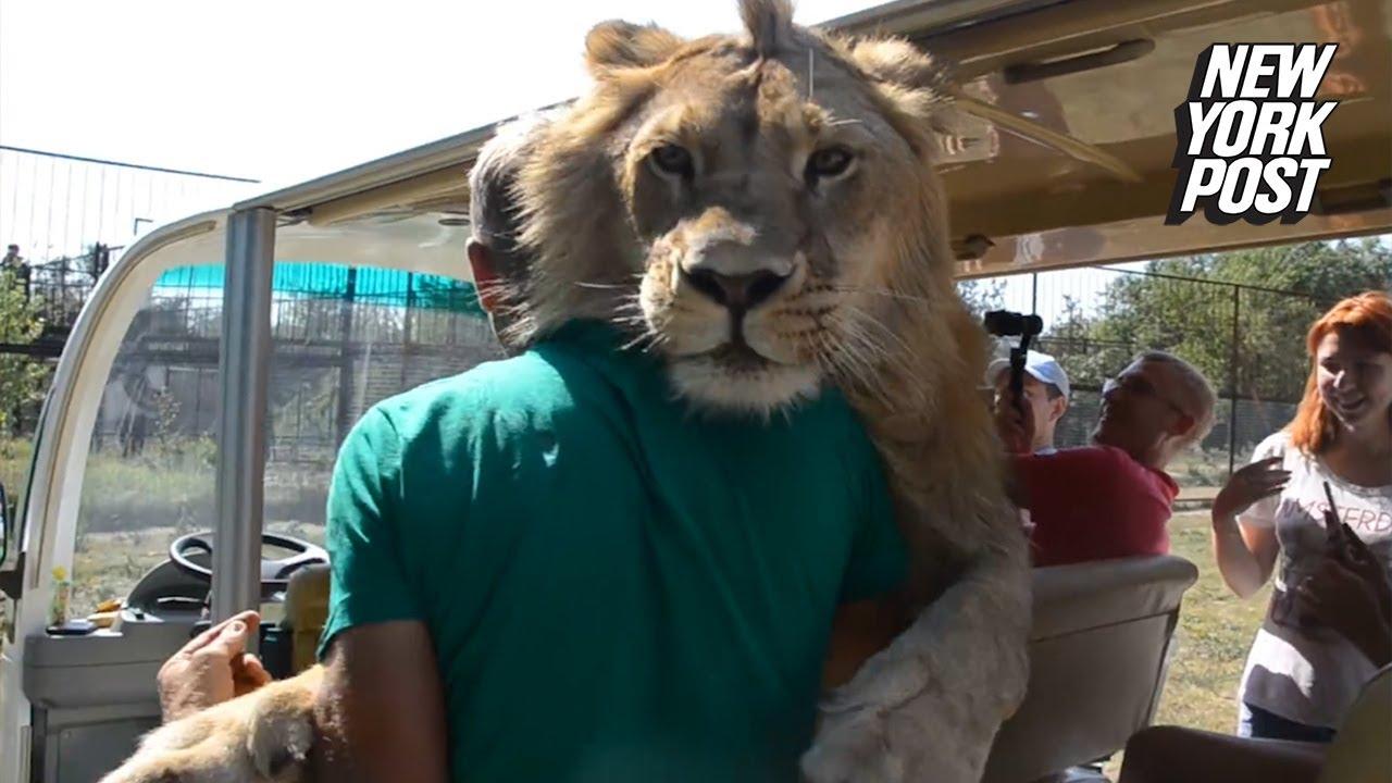 Safari Still Letting Lions Into Cars Weeks After Woman Was Attacked - አንዲት ጎብኚ ሴት በአንበሳ ከተነከሰች በኋላም: