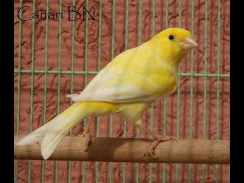chant canari mosaique mp3