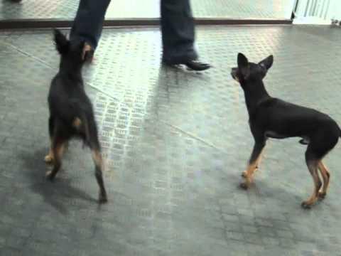 Русский той-терьер. Купить щенка недорого - YouTube