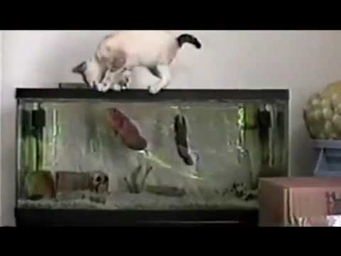 Pesce attacca gatto scemo – Fish attack stupid cat