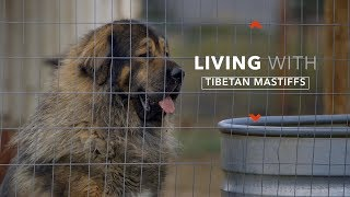 ALL ABOUT LIVING WITH TIBETAN MASTIFFS