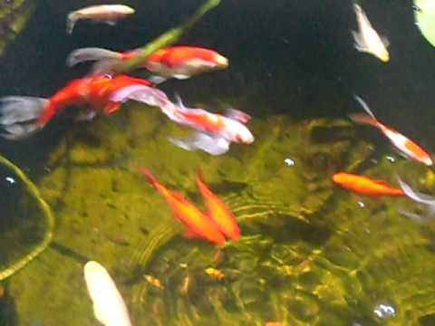 Comet goldfish pond with polarizing filter youtube for Koi pond size