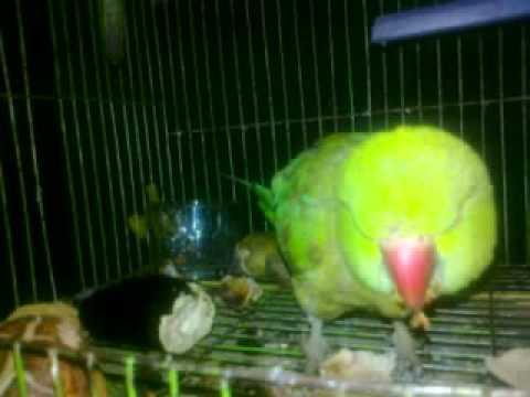 sindhi parrot sindhi ....list_2__0008.mp4