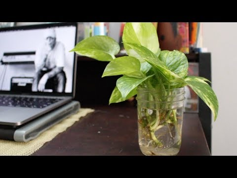 Golden Pothos Propagation by Cuttings in Water (Update 1)