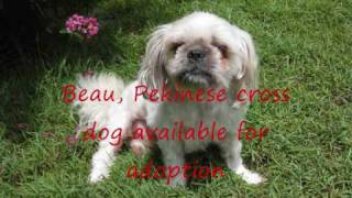 Beau, Pekinese Shih Tzu Dog-has Been Adopted