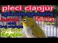Pleci Buxtoni Ngalas Wiksar Pleci Lokal Full Isian  Mp3 - Mp4 Download