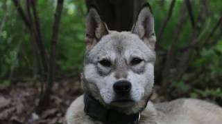 朋友的一只小狗,简直是一只小狼.