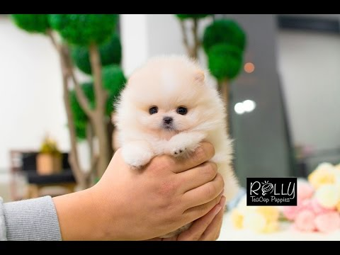 Beautiful Cream Pomeranian Teddy Bear Face :D Annie - Rolly Teacup Puppies