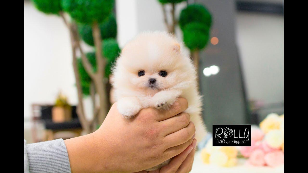 Beautiful Cream Pomeranian Teddy Bear Face D Annie Rolly Teacup