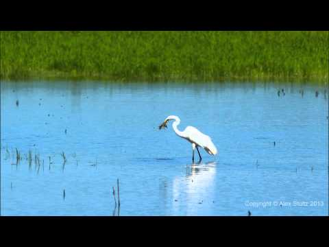 Great Egret Eats Crawfish at Blackwater Wildlife Refuge
