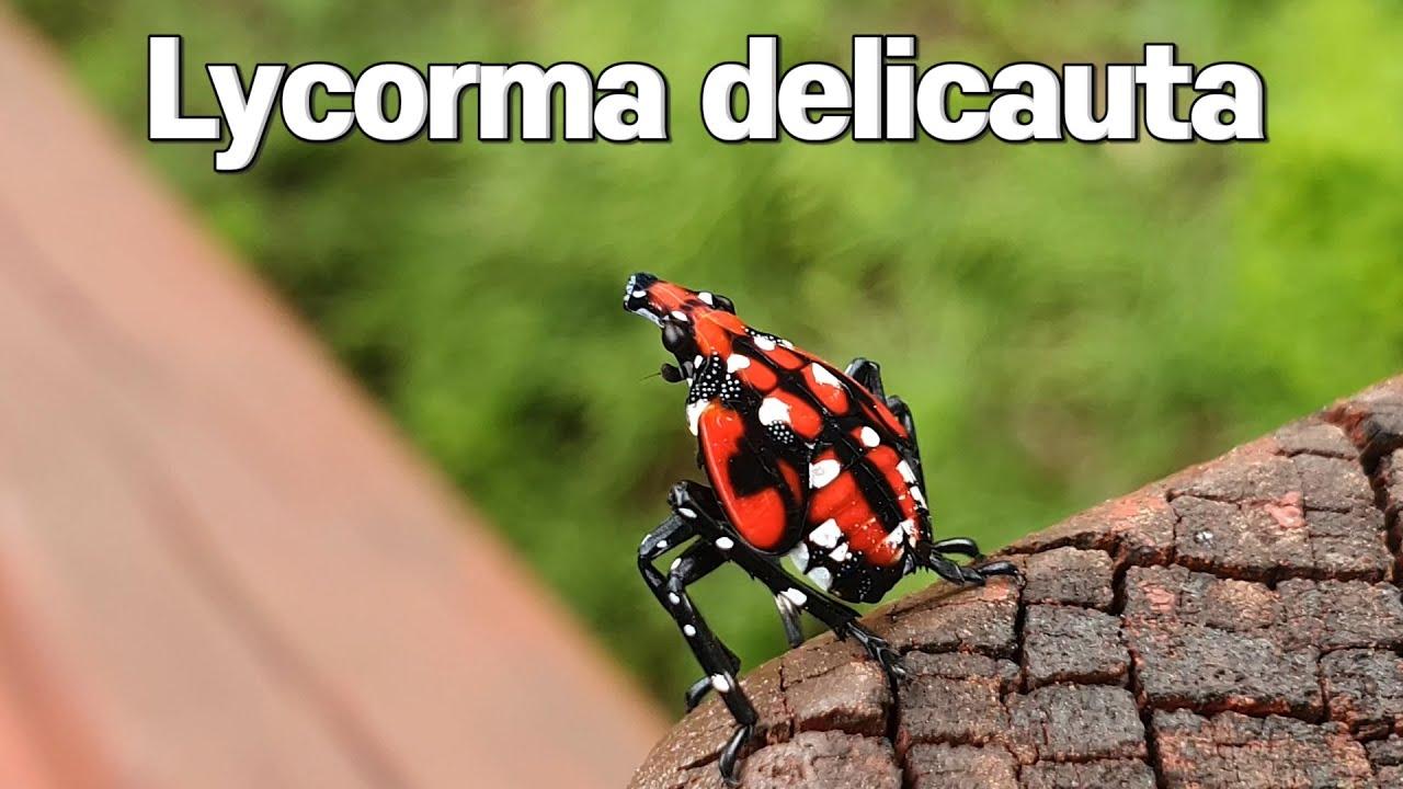 주홍날개꽃매미 Lycorma delicauta