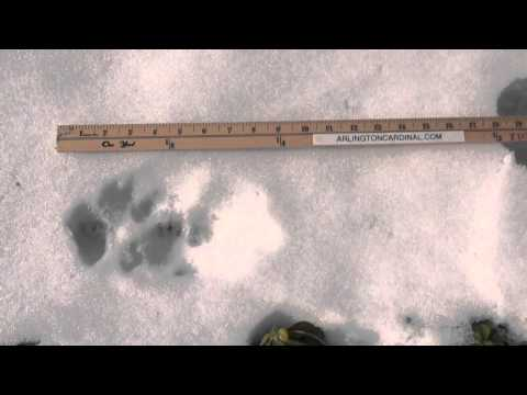 Cougar Tracks? Large Dog? Snow Tracks in Arlington Heights