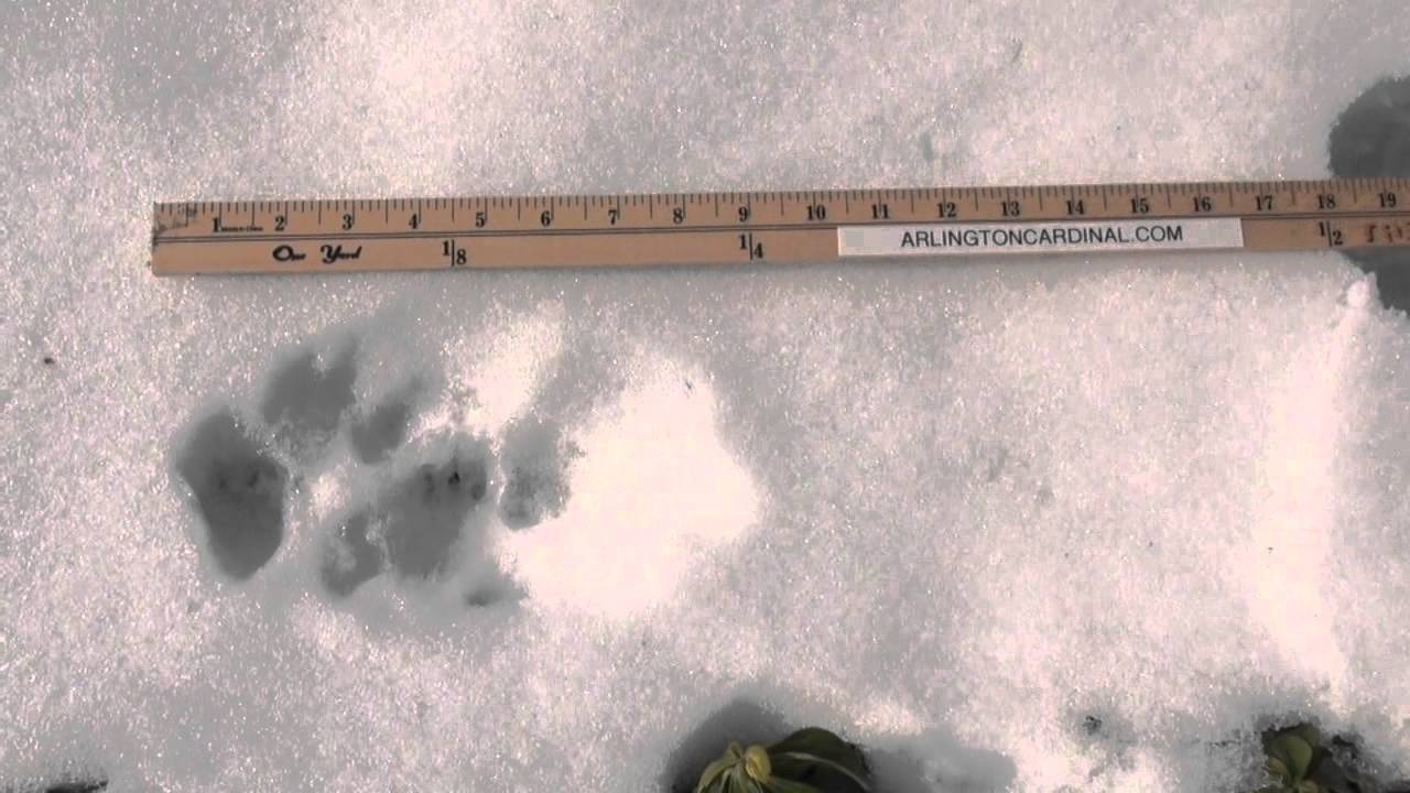Cougar tracks large dog snow tracks in arlington heights youtube publicscrutiny Choice Image