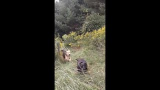 dog mountain - happy dogs playing & running in the nek vermont