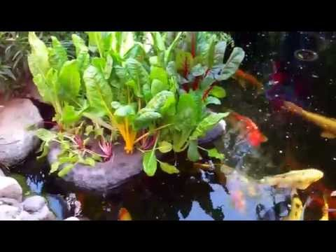 South Bay Junior Academy - Koi Pond Aquaponics