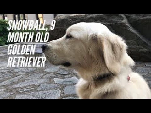 Snowball | 9 Months Old Golden Retriever | Off Leash Obedience