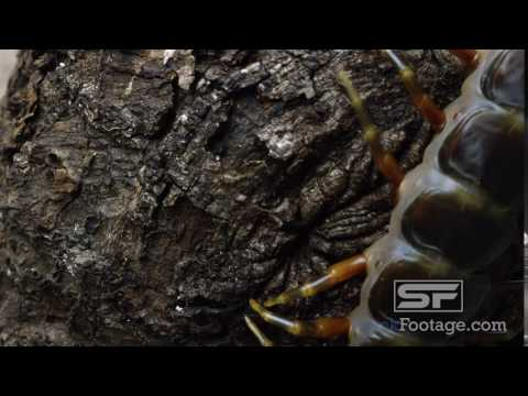 Extreme close shot of a Peruvian Giant Centipede crawling on some tree bark