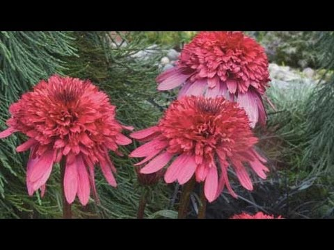 The best perennial flowers of 2014 youtube mightylinksfo