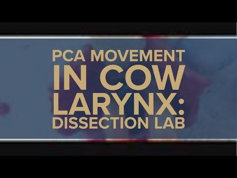 PCA movement in cow larynx