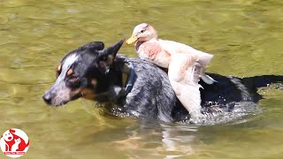 DUCKS and Pets - You Will Laugh At These Salty Moments Of Pets - Try Not To Laugh 😂