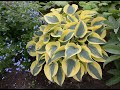 watch he video of Proven Winners Shadowland Autumn Frost Hosta in the Greenhouse
