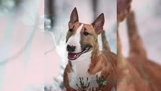 Bull Terrier Miniatura. Pros y contras, precio, Cómo elegir, hechos, cuidado, historia