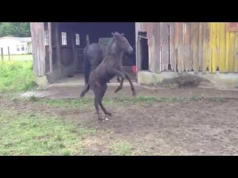 Raven the Dancing Mule