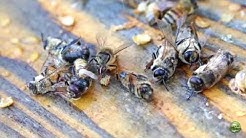 Honey Bee Behavior, Drone Evictions In Spring