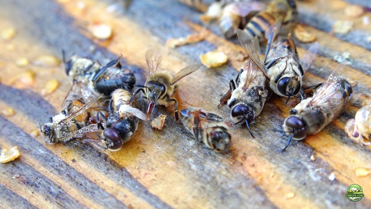 Honey Bee Behavior Drone Evictions In Spring