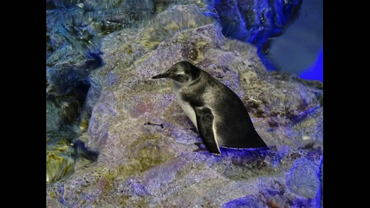 ペンギン 腹筋 バキバキ