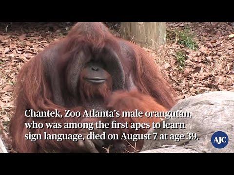 VIDEO: RIP Zoo Atlanta's orangutan Chantek