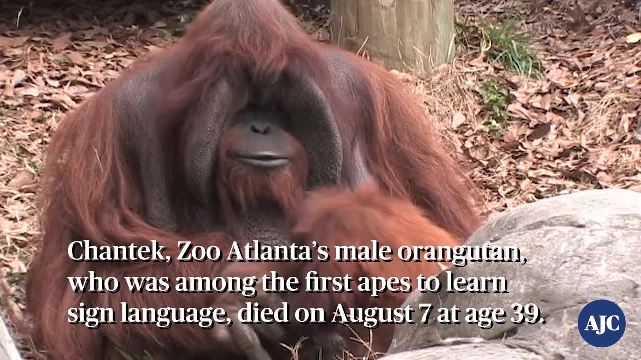 VIDEO: RIP Zoo Atlanta's orangutan Chantek