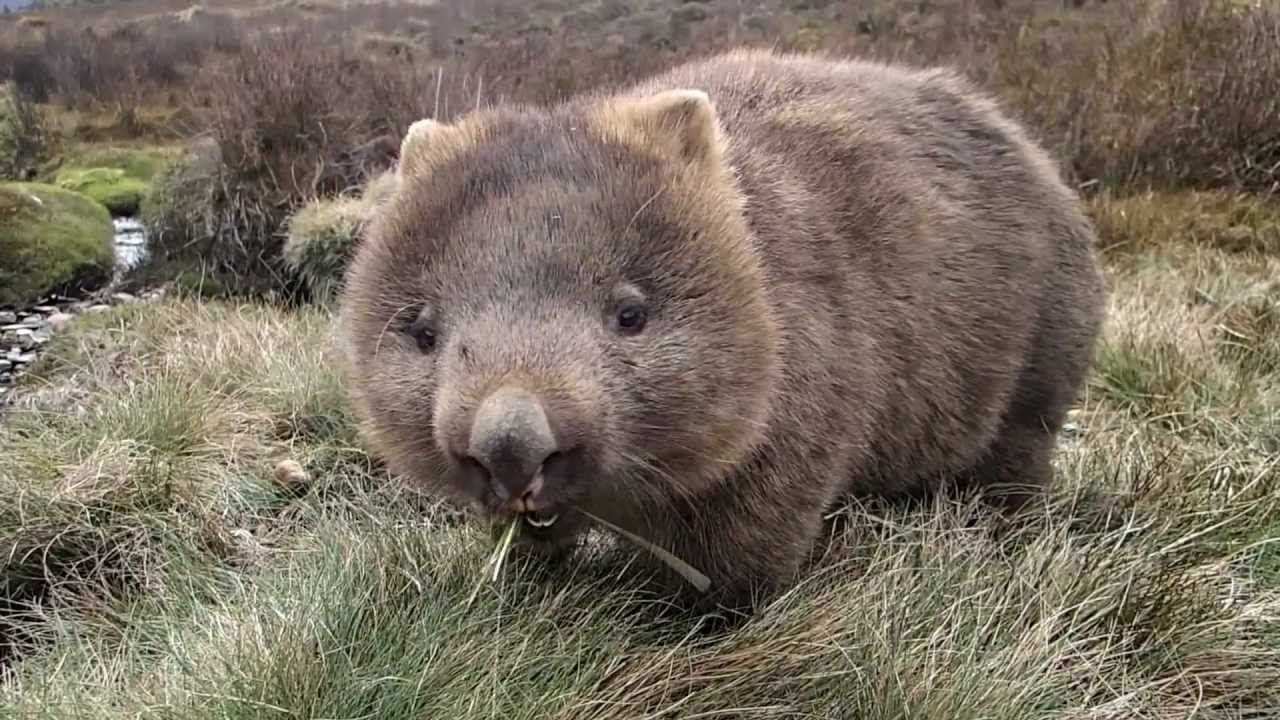 Mini Kuh Kaufen The Best Wombat Movie Ever Been Made